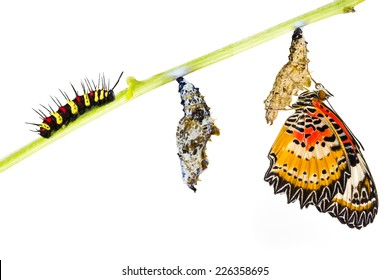 Leopard lacewing (Cethosia cyane euanthes)  butterfly , caterpillar, pupa and emerging