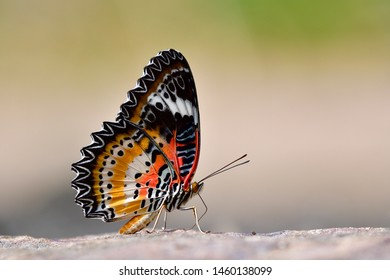 Leopard Lacewing (Cethosia cyane) most beautiful red to yellow and black stripe with white lines over its wings standing on ground over fine blur background