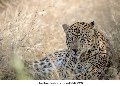Leopard laying in the high grass in the Kruger National Park, South Africa.