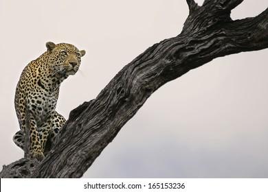 Leopard in Lead Wood Tree