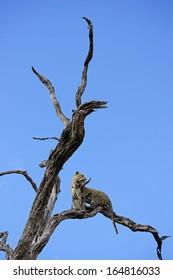 Leopard in Leadwood