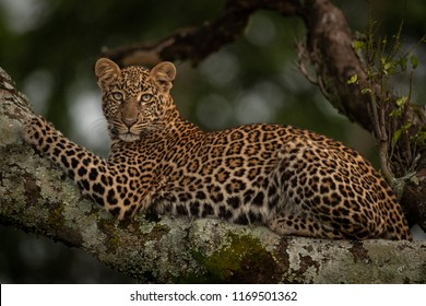 Leopard lies on branch looking for prey