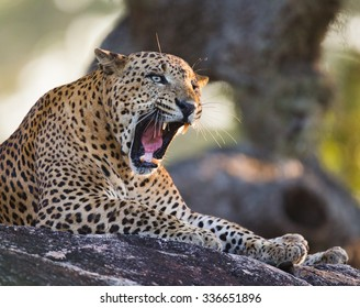 The leopard lies on a large stone under a tree and yawns. Sri Lanka. An excellent illustration.