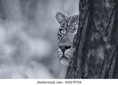 Leopard looking carefully from behind a tree at a prey in artistic conversion
