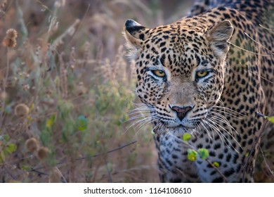 Leopard looking directly at camera in Kenya