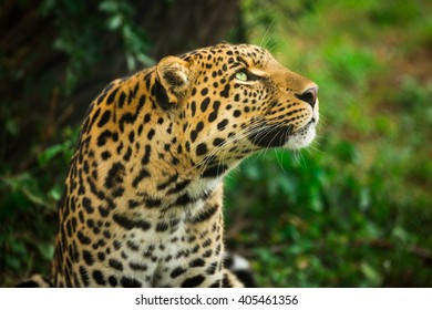 Leopard looking up at the jungle