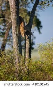 Leopard Lorian climbing down from the tree in Masai Mara, Kenya