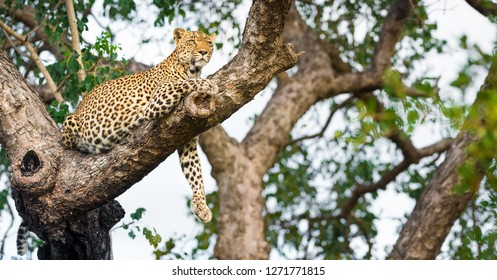 A leopard lounging in a Marula tree, looking into the distance in the afternoon sunlight - Greater Kruger National Park - South Africa