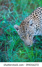 leopard lying down looking up