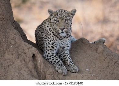 Leopard lying in Erindi Private Game Reserve, Namibia