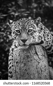 A LEOPARD LYING ON A CEMENT COLUMN WITH B&W