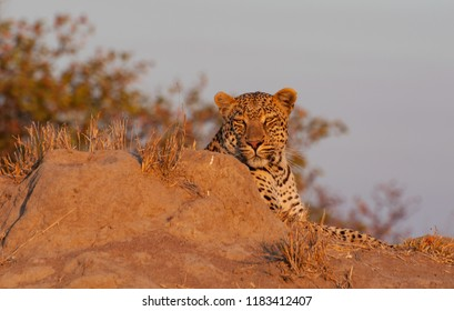 Leopard lying on termite mount and heating up in sunset in the Kruger National Park, South Africa