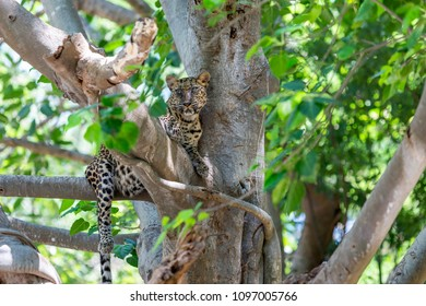 Leopard lying on the tree.