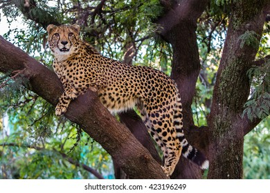 Leopard lying on the tree, Kruger park-South Africa