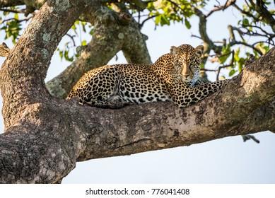 Leopard is lying on a tree. National Park. Kenya. Tanzania. Maasai Mara. Serengeti.