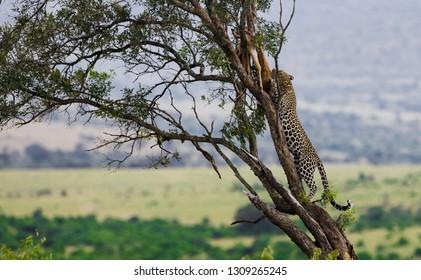 Leopard in the Maasai Mara National Park, Kenya