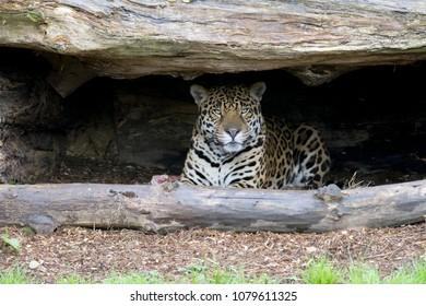 Leopard Male Relaxing