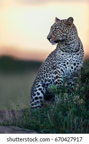 Leopard male at sunset in Masai Mara, Kenya. He is the son of legendary Leopard Bahati.