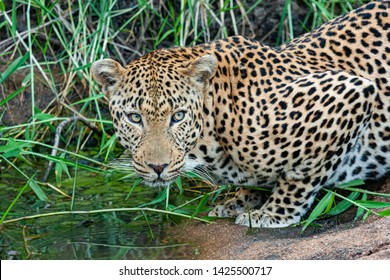leopard mammal of the kruger national park reserves and parks of south africa