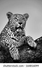 Leopard in Marula Tree
