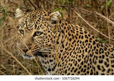 Leopard of Masai mara
