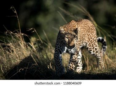 Leopard at Masai Mara, Kenya