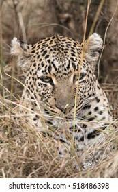 Leopard , Masai Mara National Reserve, Kenya, Eastern Africa