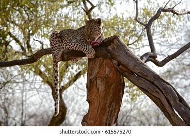 Leopard meal. Central Namibia.