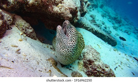 A leopard moray eel peeks out from behind a rock. Natural aquarium in the Maldives.