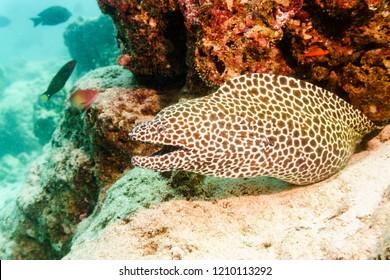 Leopard Moray on Atoll of the Maldives.