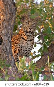 Leopard, Moremi National Park, Botswana
