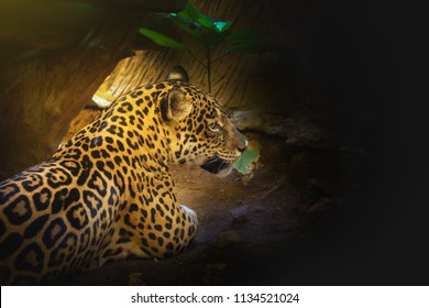 Leopard with morning sunset Sit on the floor Space for font