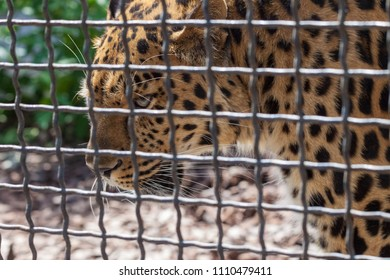 Leopard in the Moscow Zoo