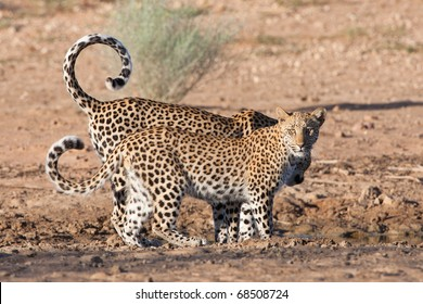 Leopard mother and cub at waterhole