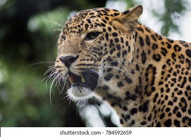 A leopard in the Nainital Zoo