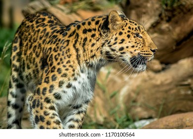 Leopard on the prowl at Colchester Zoo
