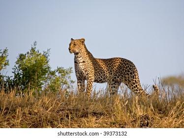 Leopard on the skyline