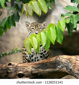 leopard on the tree.