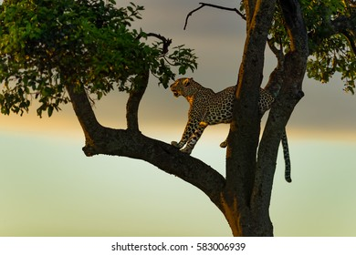 Leopard on the tree early in the morning before sunrise in Masai Mara, Kenya
