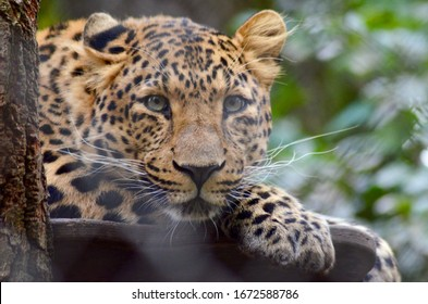 Leopard On A Tree In Focus