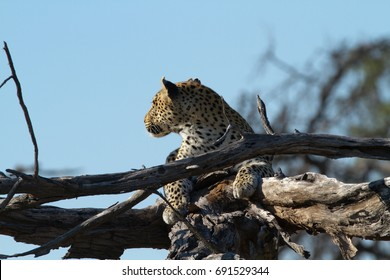 leopard on a tree of the moremi reserve in botswana