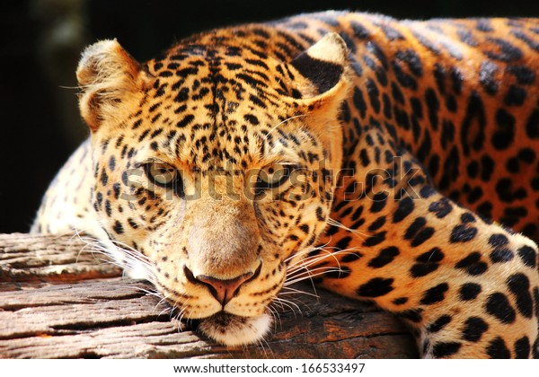 leopard panther resting  relax on tree
