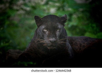 Leopard or panther in the wild nature.