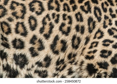 The leopard - Panthera pardus