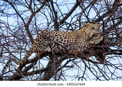 Leopard - Panthera pardus, beautiful iconic carnivore from African bushes, savannas and forests, Etosha National Park, Namibia.