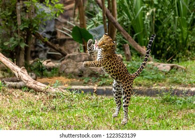 Leopard or Panthera pardus can attacking the prey mid-air.