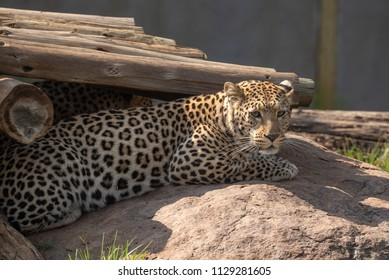 A leopard, Panthera pardus, in captivity. It is is one of five species in the genus Panthera