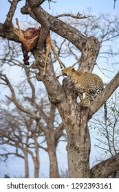 Leopard, Panthera pardus, climbing a tree with its kill, an impala, Aepyceros melampus,  lodged in the upper branches.
