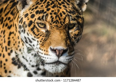Leopard, Panthera Pardus, closeup, has beautiful spotted fur