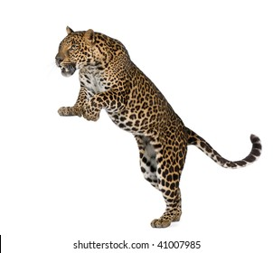 Leopard, Panthera pardus, in front of white background, studio shot